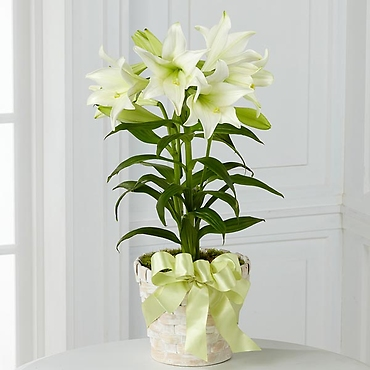 The Easter Lily Plant