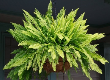 Fern in a Hanging Basket